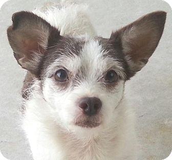 Chihuahua/Affenpinscher Mix Dog for adoption in Orlando, Florida - Miley