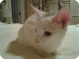 Siamese Kitten for adoption in Acushnet, Massachusetts - Smudge