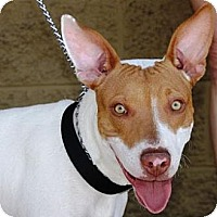 Adopt A Pet :: Henry - Gilbert, AZ