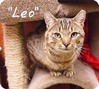 Domestic Shorthair Cat for adoption in Ocean View, New Jersey - Leo