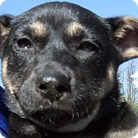 Adopt A Pet :: Baby Zada - Oakley, CA