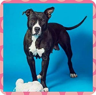 American Pit Bull Terrier Dog for adoption in Sacramento, California - Rumor