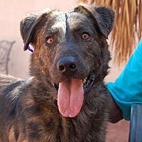 Dutch Shepherd Mix Dog for adoption in Las Vegas, Nevada - Namath
