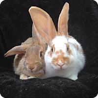 Adopt A Pet :: Gertrude & Ophelia - Watauga, TX