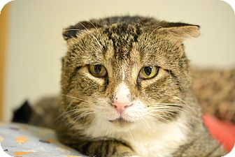 Domestic Shorthair Cat for adoption in Queens, New York - Jeremy