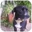 Photo 3 - Miniature Pinscher/Boston Terrier Mix Dog for adoption in West Los Angeles, California - Sammy