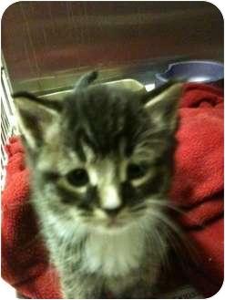 Domestic Shorthair Kitten for adoption in New Egypt, New Jersey - Tid Bit