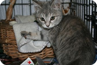 American Shorthair Kitten for adoption in Spring Valley, New York - Bopeep