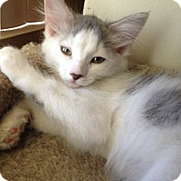 Adopt A Pet :: Percy - Chandler, AZ