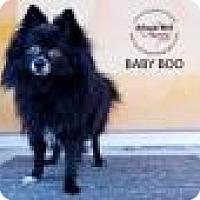 Adopt A Pet :: Baby Boo - Shawnee Mission, KS