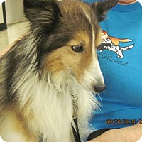 Adopt A Pet :: Gwyenn - apache junction, AZ