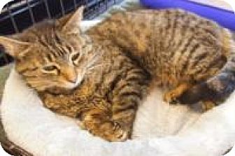 Domestic Shorthair Cat for adoption in Bear, Delaware - Kelly