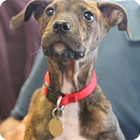 Adopt A Pet :: Buffy - Knoxville, TN