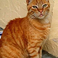 Domestic Shorthair Cat for adoption in Naples, Florida - Furbe