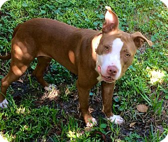 American Staffordshire Terrier/Pit Bull Terrier Mix Puppy for adoption in Ft. Myers, Florida - Hattie