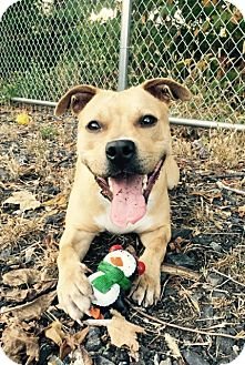 American Staffordshire Terrier/Labrador Retriever Mix Dog for adoption in East Orange, New Jersey - Jazzy