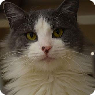 Domestic Longhair Cat for adoption in Denver, Colorado - Freddy