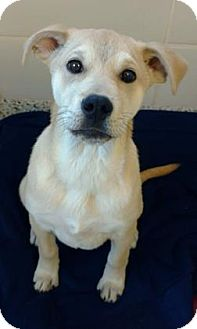 Labrador Retriever Mix Puppy for adoption in Aiken, South Carolina - Harley