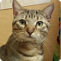 Domestic Shorthair Cat for adoption in Mesa, Arizona - Diego