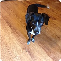 Rat Terrier/Dachshund Mix Dog for adoption in Aurora, Illinois - Daisy