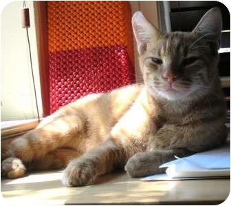 Domestic Shorthair Cat for adoption in Austin, Texas - Cheese