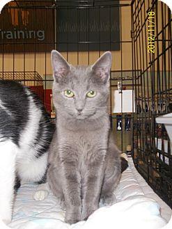 Domestic Shorthair Cat for adoption in Riverside, Rhode Island - Lilia