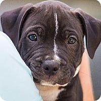 Adopt A Pet :: Ross - Sacramento, CA