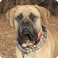 Adopt A Pet :: Bella - Woodstock, IL