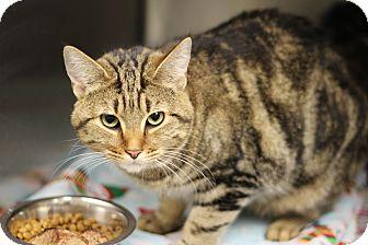 Domestic Shorthair Cat for adoption in Marietta, Georgia - Abby