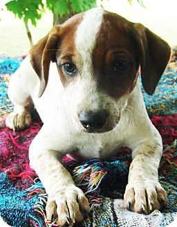 Beagle/Blue Heeler Mix Puppy for adoption in Plainfield, Connecticut - Jamie