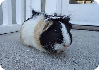 Guinea Pig for adoption in Fullerton, California - Tease