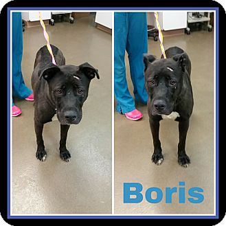 Shepherd (Unknown Type)/Labrador Retriever Mix Dog for adoption in Steger, Illinois - Boris