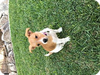Jack Russell Terrier/Toy Poodle Mix Puppy for adoption in Long Beach, California - Layla