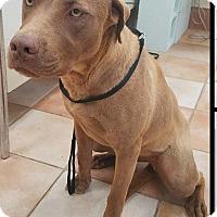 Adopt A Pet :: Abby - California City, CA