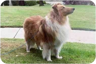 Collie Dog for adoption in San Diego, California - Bella