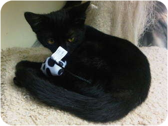 American Shorthair Cat for adoption in Lake Charles, Louisiana - Nicoal