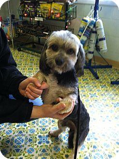 Havanese/Lhasa Apso Mix Dog for adoption in Sheridan, Oregon - Michael