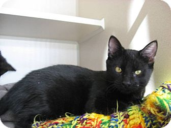 Domestic Shorthair Cat for adoption in Ridgway, Colorado - Plymouth