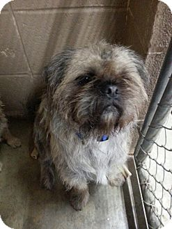 Brussels Griffon Dog for adoption in Chicago, Illinois - CHANDLER