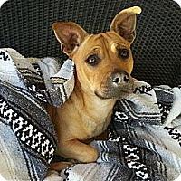 Adopt A Pet :: Scrappy Doo - Gilbert, AZ
