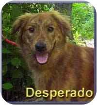 Golden Retriever Mix Dog for adoption in Aldie, Virginia - Desparado