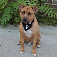 Pit Bull Terrier Mix Dog for adoption in New York, New York - Jimmy K