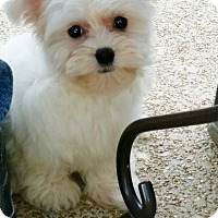 Adopt A Pet :: Brigette - Fairview Heights, IL