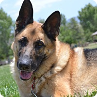 German Shepherd Dog Dog for adoption in Altadena, California - Scooby