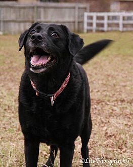 Labrador Retriever/Cattle Dog Mix Dog for adoption in Warner Robins, Georgia - Lucy