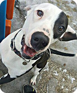 Beagle Mix Dog for adoption in West Allis, Wisconsin - Barklee