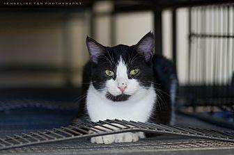 Domestic Mediumhair Cat for adoption in Houston, Texas - KIFFEN