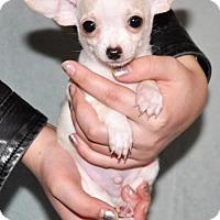 Adopt A Pet :: Ferb Fletcher - Redmond, WA