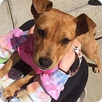 Adopt A Pet :: Pup Gwynnie - Rockville, MD