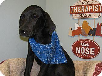 Labrador Retriever Mix Puppy for adoption in Groton, Massachusetts - Peter